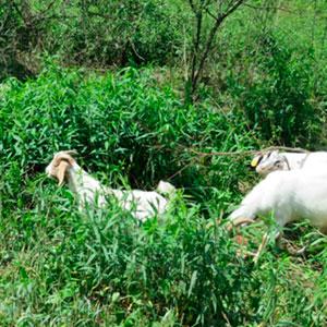 Go Goats